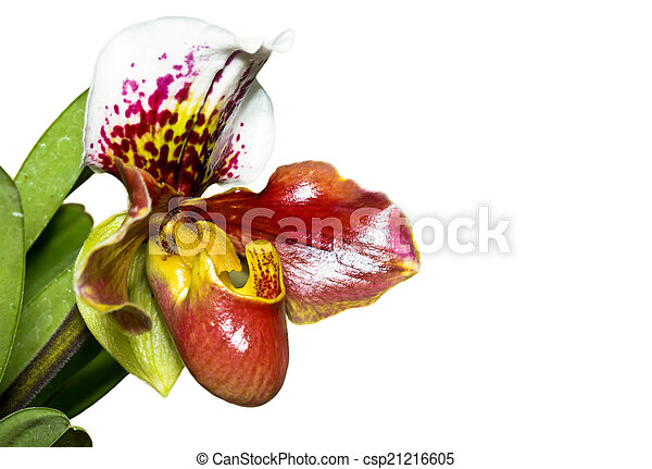 Slipper Orchid ( Paphiopedilum ) Exotic flowers isolated on whit - csp21216605