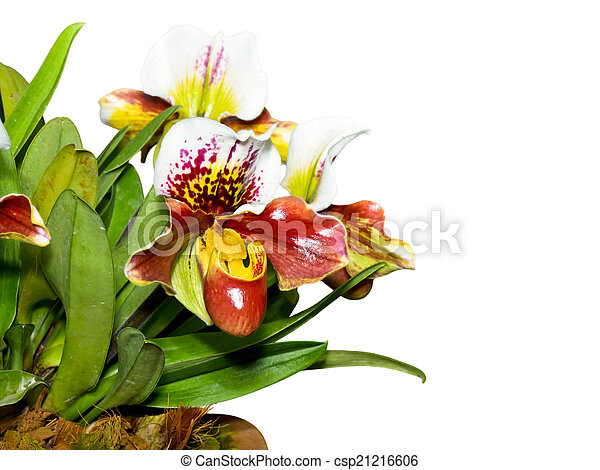 Slipper Orchid ( Paphiopedilum ) Exotic flowers isolated on whit - csp21216606