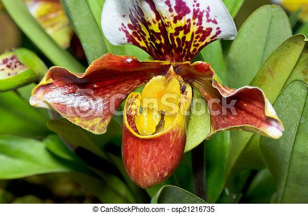 Slipper Orchid ( Paphiopedilum ) Exotic flowers - csp21216735