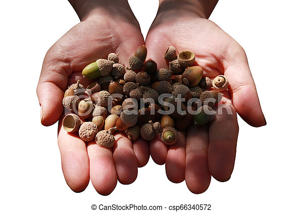 Small acorn, close-up hand - csp66340572