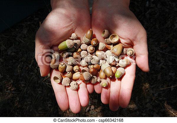 Small acorn, close-up hand - csp66342168