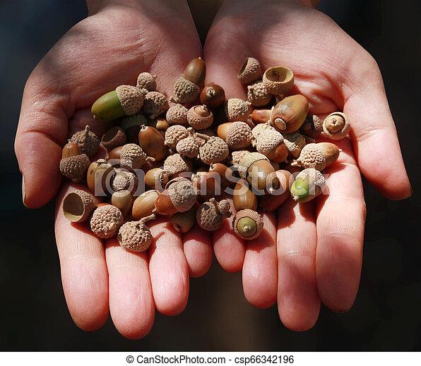 Small acorn, close-up hand - csp66342196