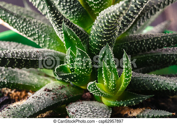 Small aloe on table, close up view - csp62957897