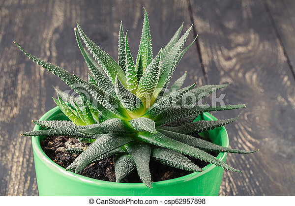 Small aloe on table, close up view - csp62957898