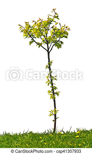 small apricot tree on the white background - csp41307933