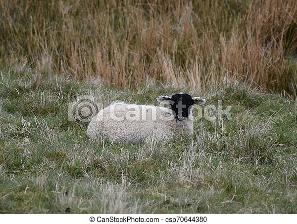 Small Black Faced Lamb Resting in a Grass Field - csp70644380