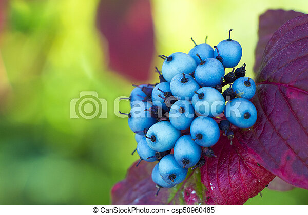 Small Blue Berries Small Blue Berries And Purple And Pink Leaves