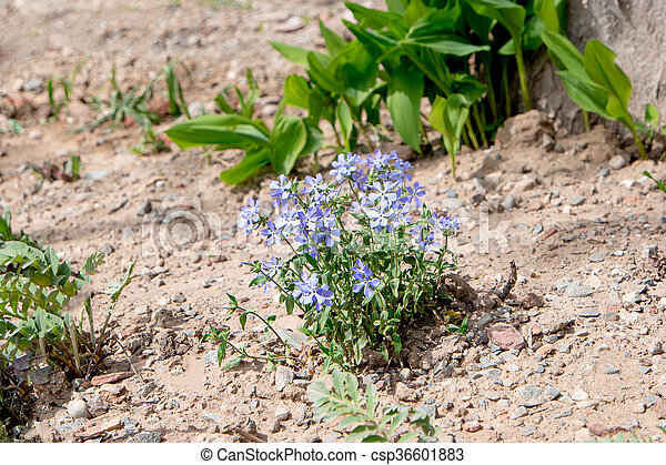 Small blue flowers in dry soil of garden florets in early spring in small blue flowers in dry soil of garden csp36601883 mightylinksfo