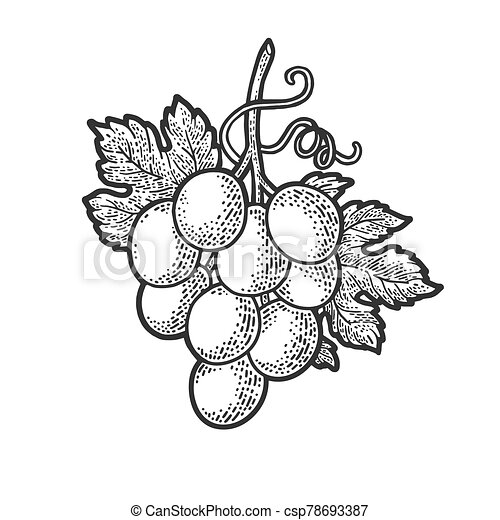 small bunch of grapes sketch engraving vector illustration. T-shirt apparel print design. Scratch board imitation. Black and white hand drawn image. - csp78693387