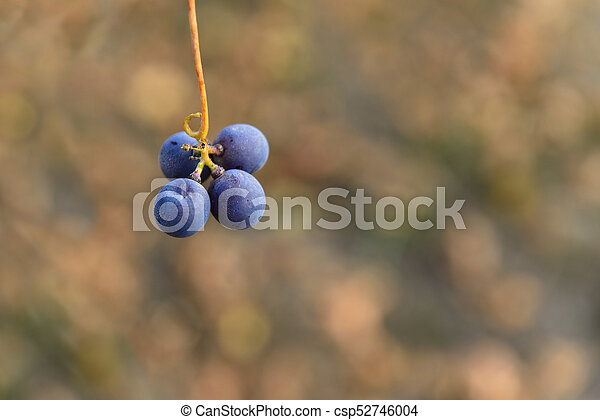 Small bunches of grapes on the vineyard in late autumn - csp52746004