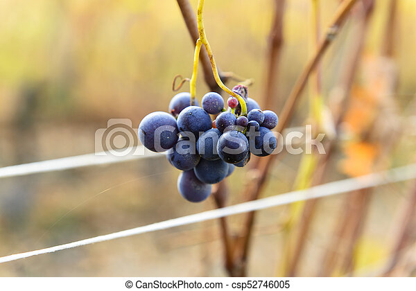 Small bunches of grapes on the vineyard in late autumn - csp52746005