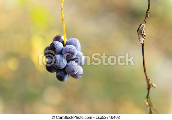 Small bunches of grapes on the vineyard in late autumn - csp52746402