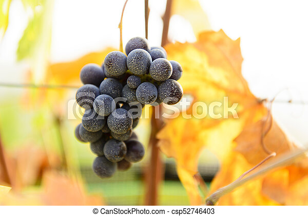 Small bunches of grapes on the vineyard in late autumn - csp52746403
