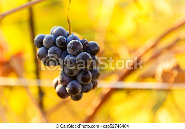 Small bunches of grapes on the vineyard in late autumn - csp52746404