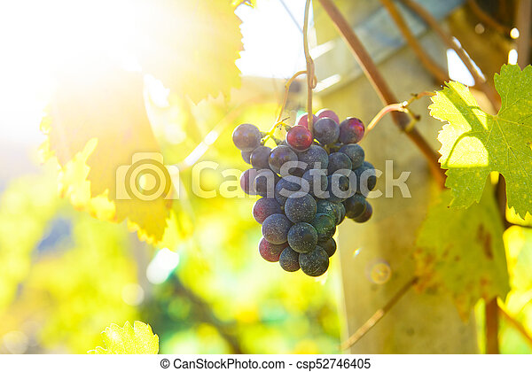 Small bunches of grapes on the vineyard in late autumn - csp52746405
