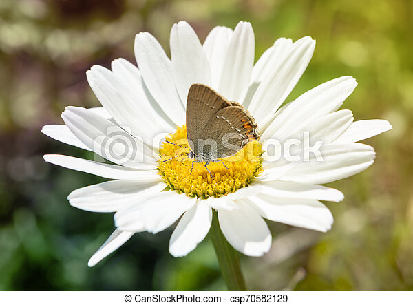 Small butterfly on white flower, close up. - csp70582129