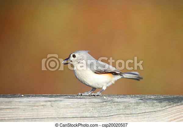 Small chickadee - csp20020507