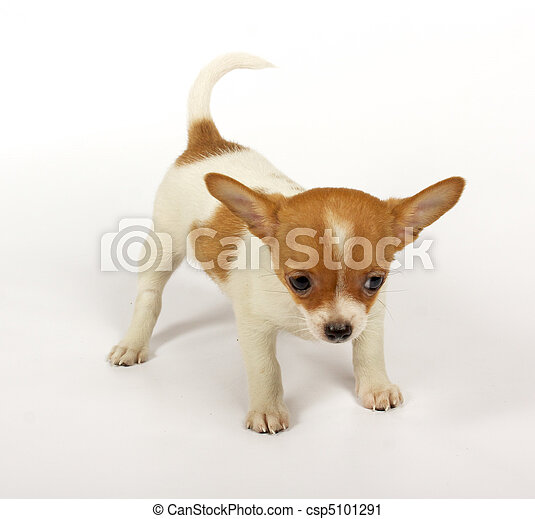 small chihuahua puppy - csp5101291