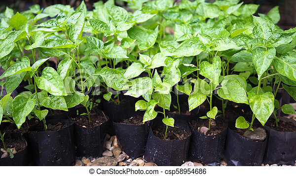 Small chili sapling tree in garden. Little green plant chili sapling agriculture concept. - csp58954686