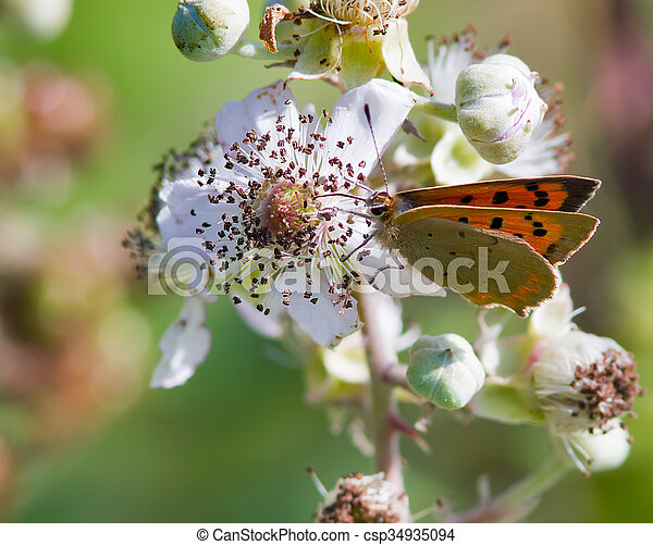 Small Copper butterfly - csp34935094