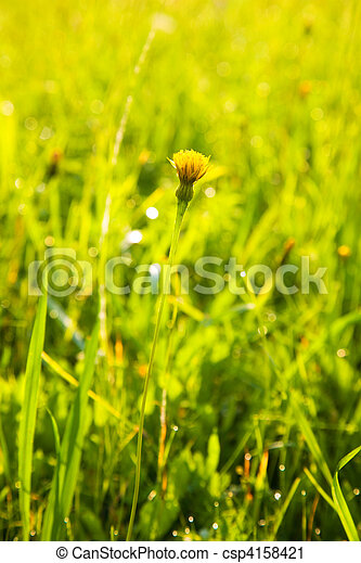 Small dandelion in a meadow - csp4158421