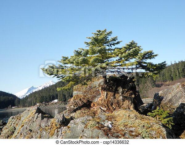 Small Evergreen Tree in Alaska - csp14336632