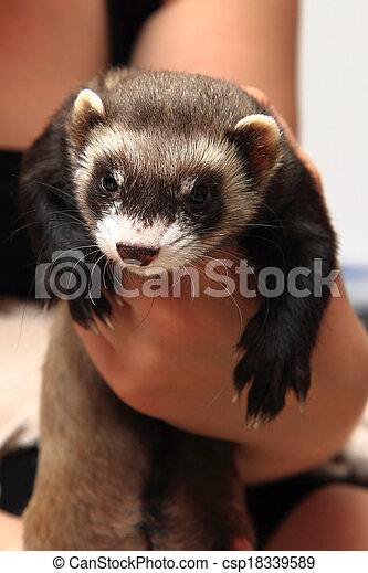 small ferret in the human hands - csp18339589