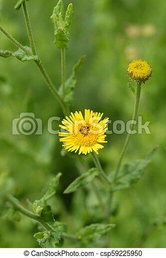 Small fleabane yellow flower latin name pulicaria vulgaris small fleabane csp59225950 mightylinksfo