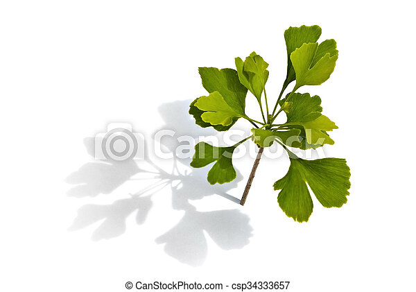 small ginkgo tree on the white background - csp34333657