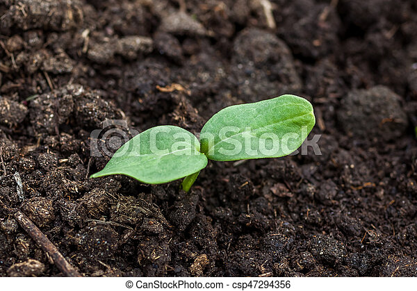 Small green plant of cucumber, seedings of cucumber - csp47294356