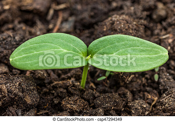 Small green plant of cucumber, seedings of cucumber - csp47294349