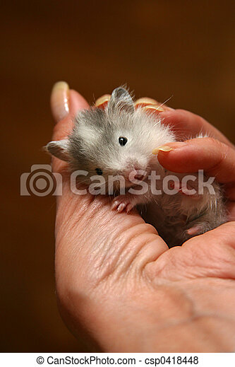 Small hamster - 5 - csp0418448