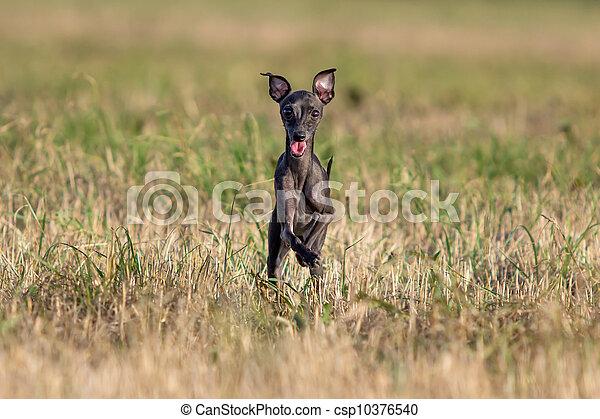 small Hound dog run in field - csp10376540