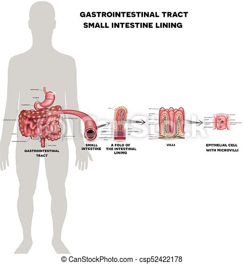 Small intestine lining anatomy a fold of the intestinal lining small intestine lining anatomy a fold of the intestinal lining villi and epithelial cell with microvilli detailed illustrations ccuart Image collections