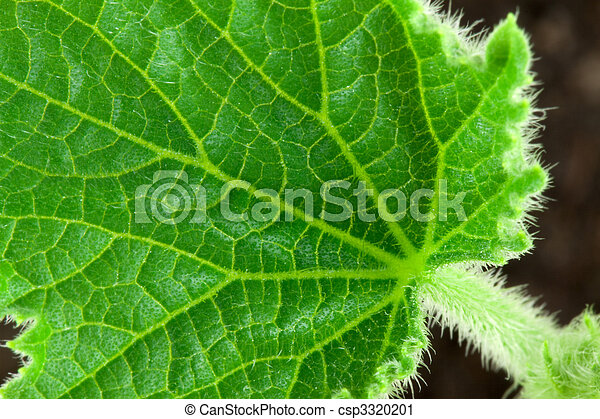 Small leafe of cucumber - csp3320201