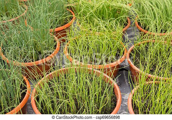 small leek seedlings - csp69656898
