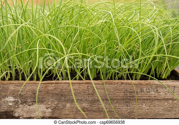small leek seedlings - csp69656938