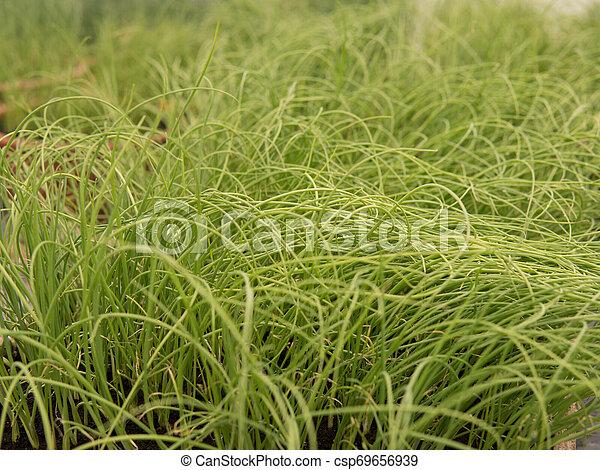 small leek seedlings - csp69656939