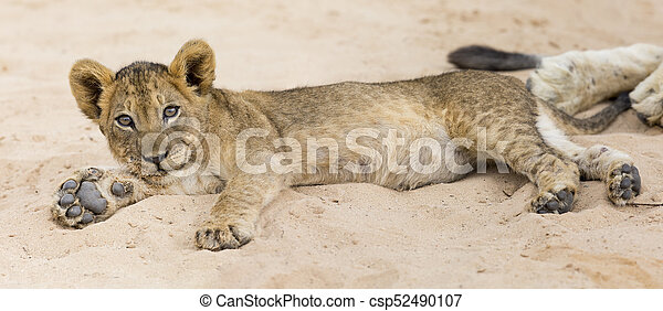 Small lion cub lay down to rest on soft Kalahari sand - csp52490107