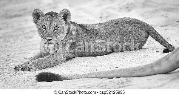 Small lion cub lay down to rest on soft Kalahari sand and play with mother's tail - csp52125935