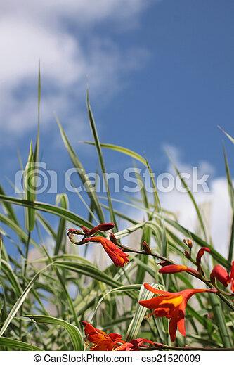 Small Orange Iris - csp21520009