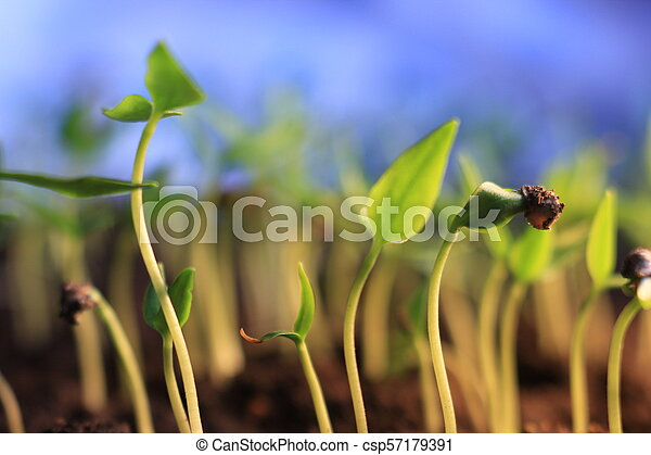 small pepper plants growing germination springtime growth on blue background - csp57179391