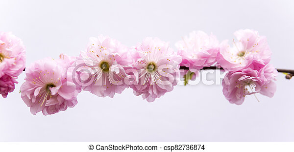 small pink flowers of prunus triloba - csp82736874