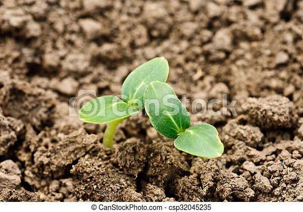 Small plant of cucumber on the ground - csp32045235