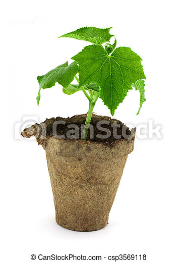 Small plant of cucumber - csp3569118
