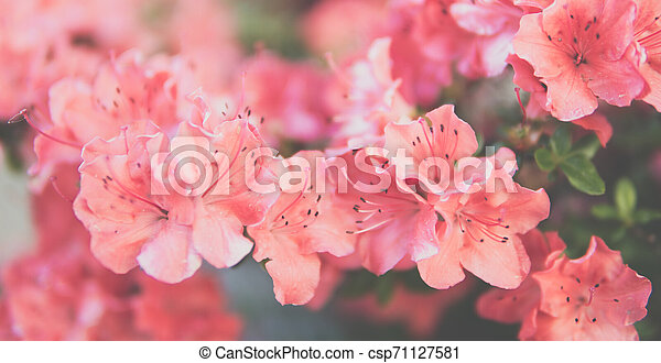 small Rhododendron pink flowers - csp71127581