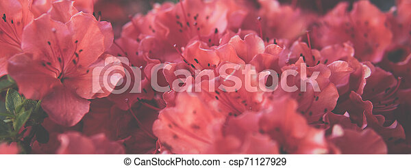 small Rhododendron pink flowers - csp71127929