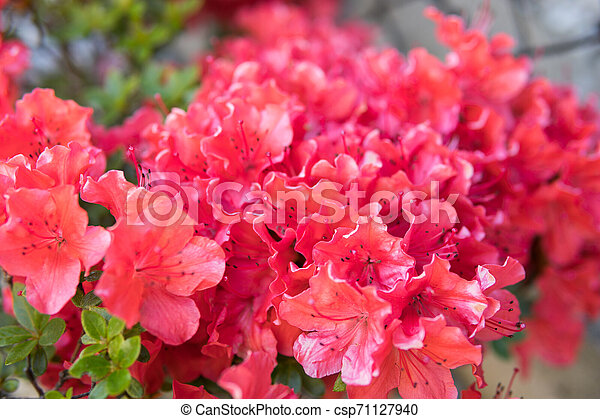 small Rhododendron pink flowers - csp71127940