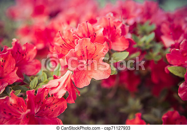 small Rhododendron pink flowers - csp71127933