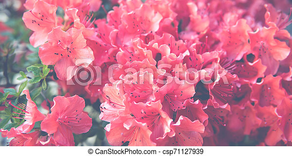 small Rhododendron pink flowers - csp71127939